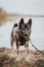 Norsk älghund