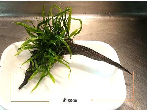 ミクロソリウム・ナローリーフ付き流木