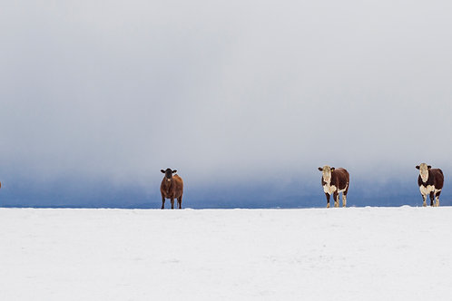 Cattle in Snow 60x30 Framed Canvas