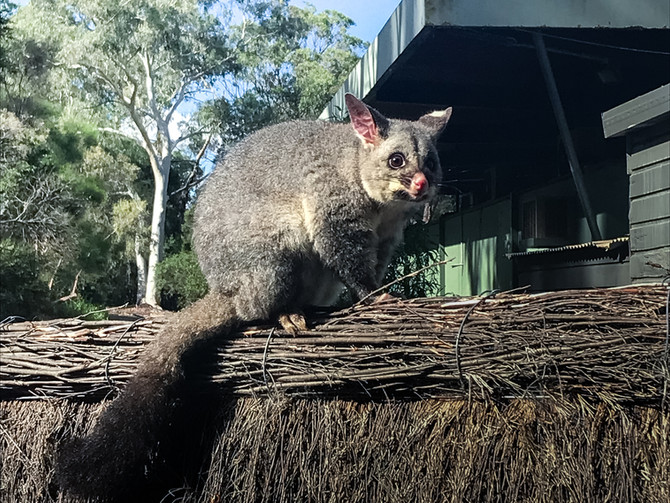 Pesky possums – what to do if you live with the party animals