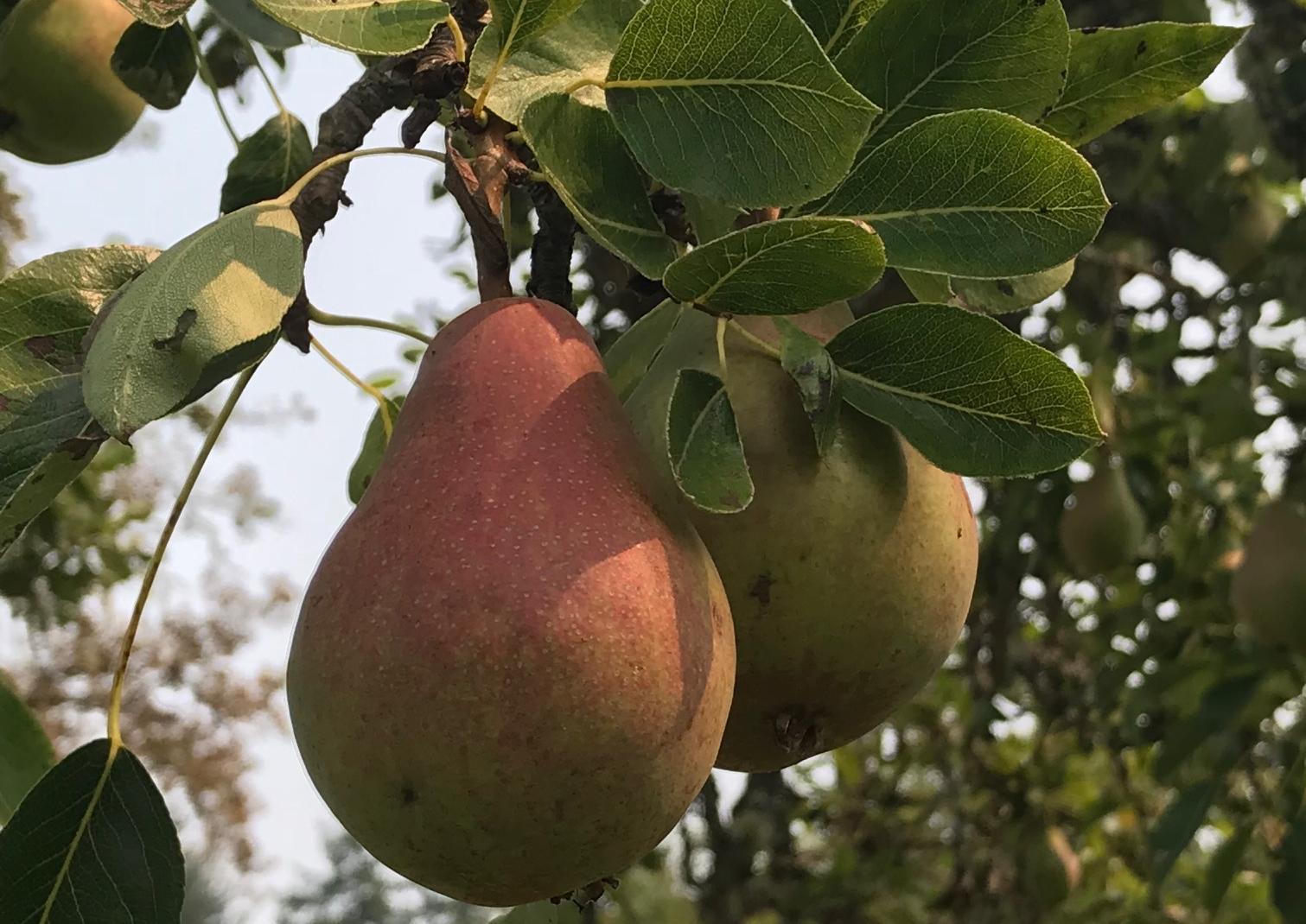 Pear Cropped SLF