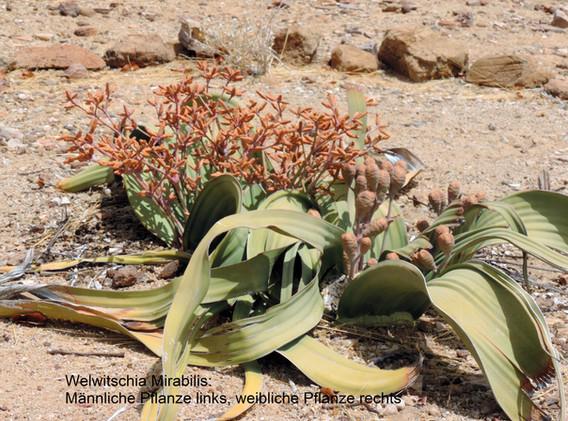 Welwitschie_beschriftet.jpg