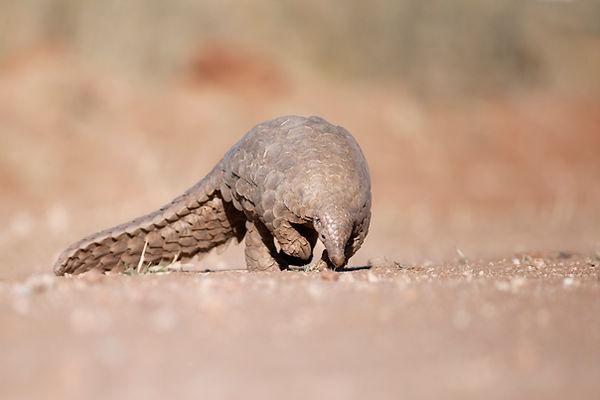 Schuppentier bei REST, Namibia