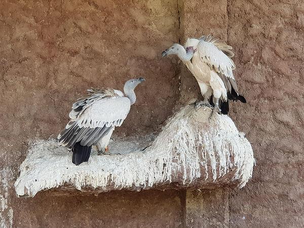 Kapgeier bei REST, Namibia