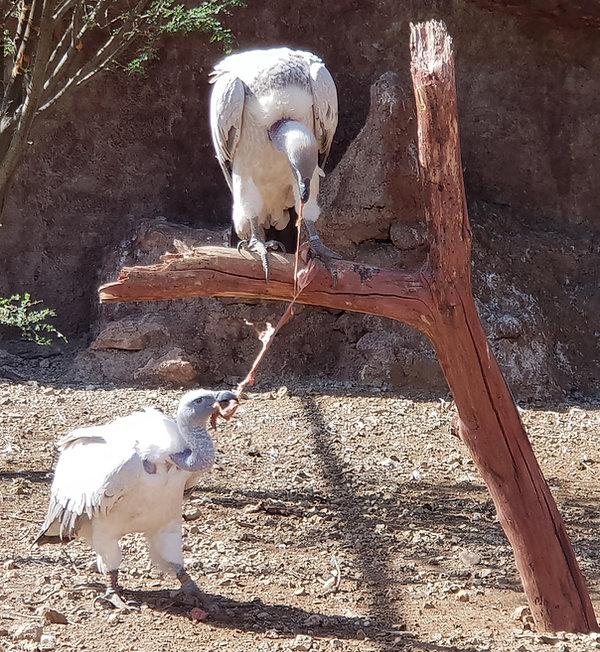 Kapgeier bei einer Fütterung