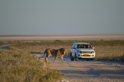 Löwe in Etosha