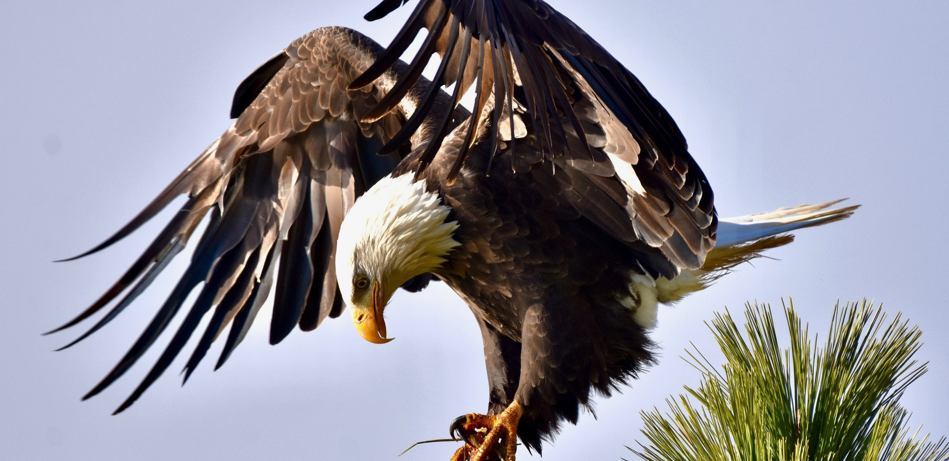 Eagle tree top feathers jagged 2020****