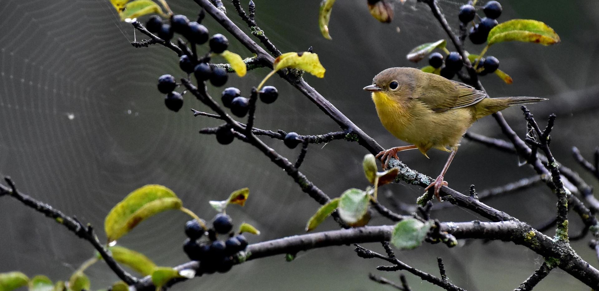 Yellow warbler? spiderwebs berries **202