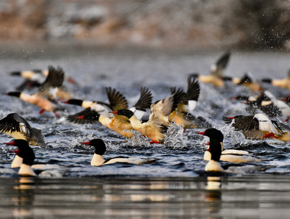 Mergansers taking off from eagle overhea
