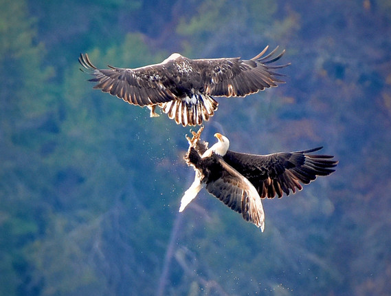 Eagles fighting over fish back lit 2020*