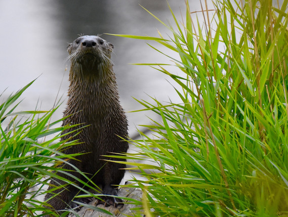 Otter on log looking at me 2020** - 1.jp