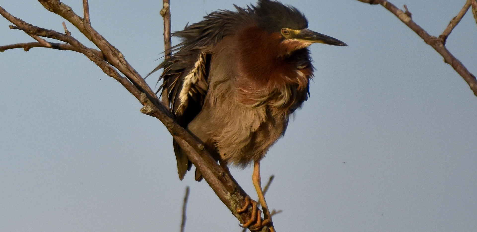 Green Heron shaking feathers 2020*** - 1