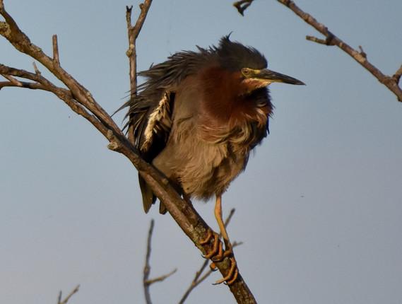 Green Heron shaking feathers 2020*** - 1