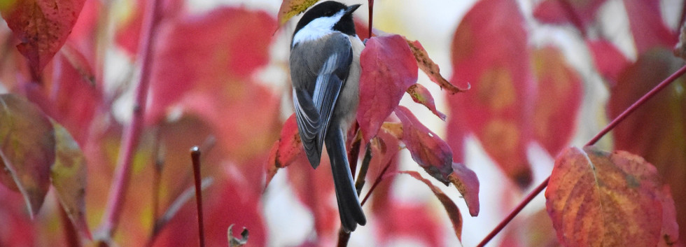 Chickadee red yellow leaves 2020**** - 1