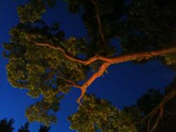 dawntree.jpg