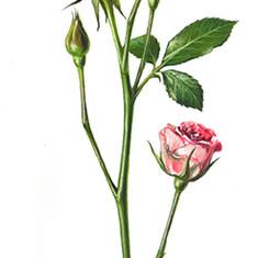 Роза (25х13 см. 2016 г.).jpg