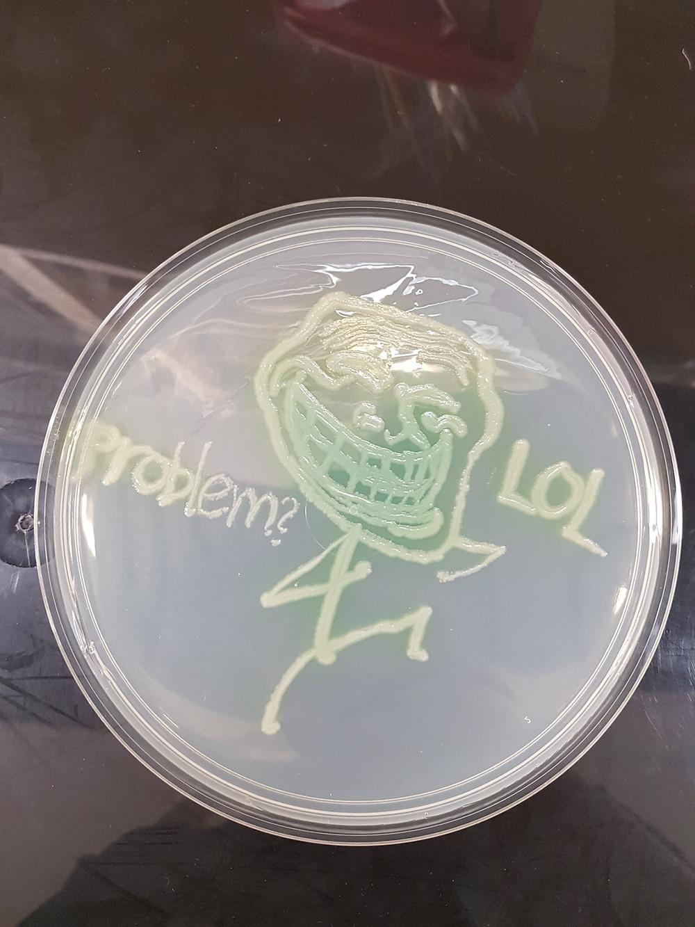 Pseudomonas aeruginosa on Mueller-Hinton agar