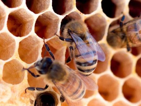 Estudo mapeia flores e abelhas que produzem mel branco do RS