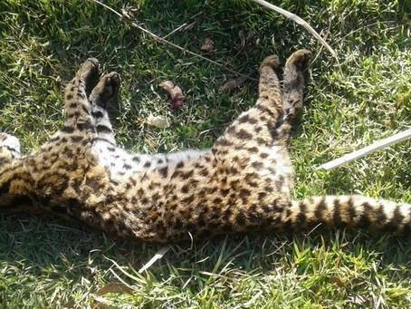 Várzea Paulista está próximo de ter o seu Hospital Veterinário para animais silvestres