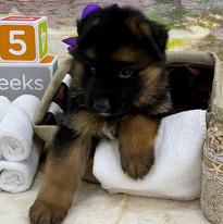Purple Collar Boy @ 5 Weeks