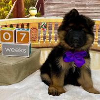 Purple Boy at 7 Weeks