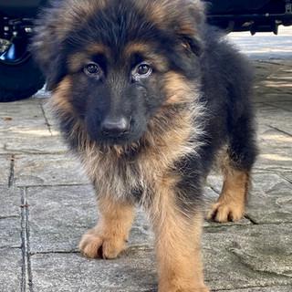 Bravo (Male) at 9 weeks