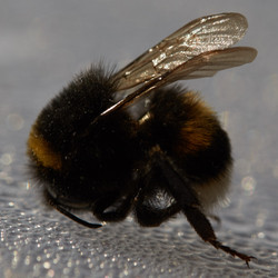 This bumble bee was dead on the walking path in the streets of Berlin.