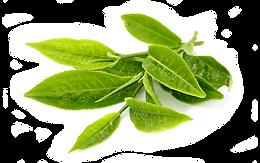Foglie té verde - Ingrediente del RESERVE Jeunesse - JTeam Network