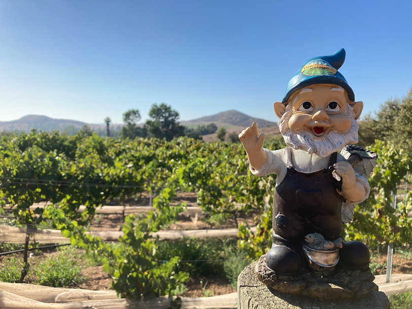 gnome in vineyard.jpg