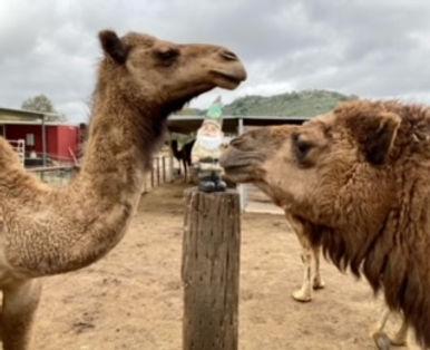 oasis camels.jpeg