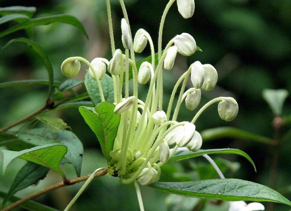 "Clerodendron Incisum ""Macrosiphon"" ""Musical Note"""