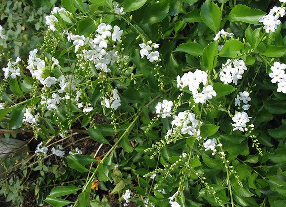 """Duranta Erecta Alba """"White Sky Flower"""""""