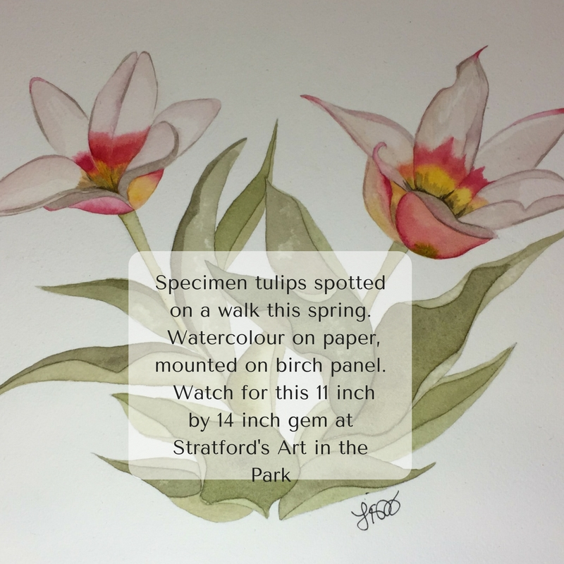Specimen tulips spotted on a walk this spring. Watercolour on paper, mounted on birch panel. Watch f