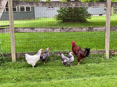 3 chicks and a rooster.jpeg