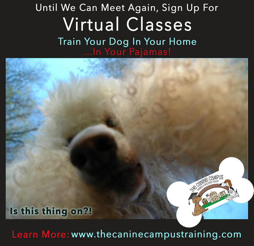 Yep, we do that, too! Sign up for Virtual Classes with The Canine Campus and never leave your home!