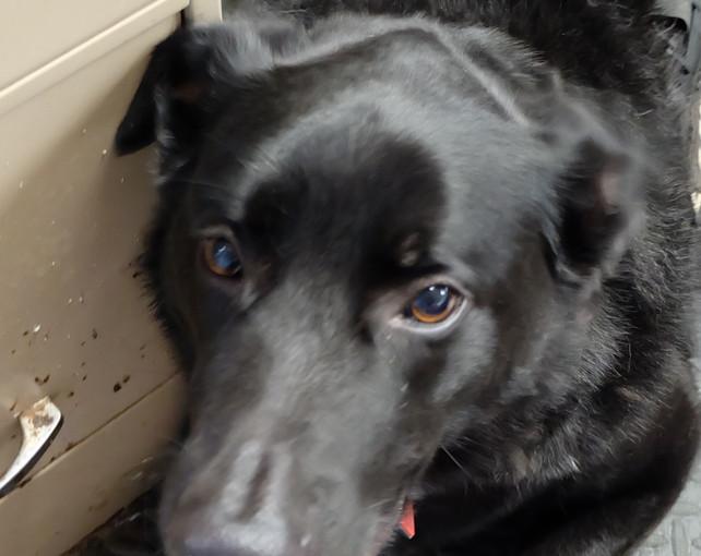 Buddy - German Shepherd Labrador Retriever Mix
