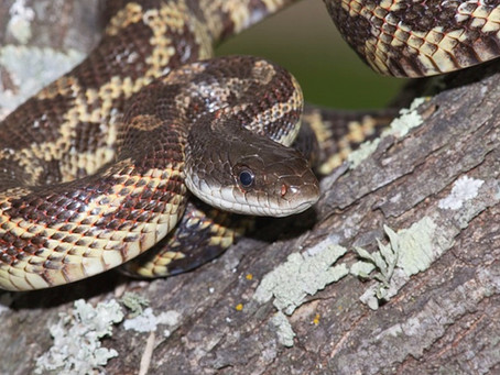 Snakes in Katy Make Unwanted House Guests