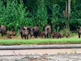Katy Residents Take on Growing Feral Hog Problem