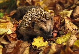 hedgehog-985315_1920.jpg
