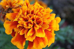 close-up-photography-of-marigold-flower-