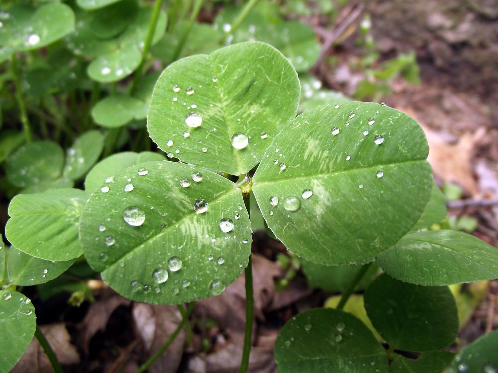 Trifolium_repens_Leaf_April_2,_2010.jpg