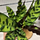 Thumbnail: Calathea Lancifolia