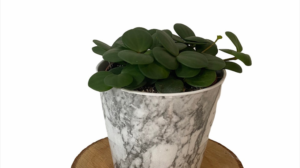 Peperomia Hope in Marble Pot