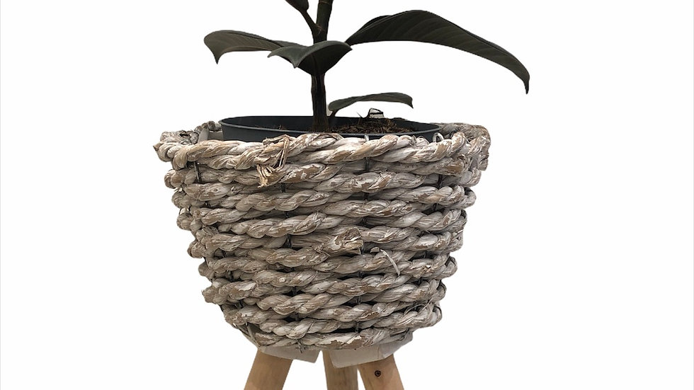 Rubber plant in three legged basket