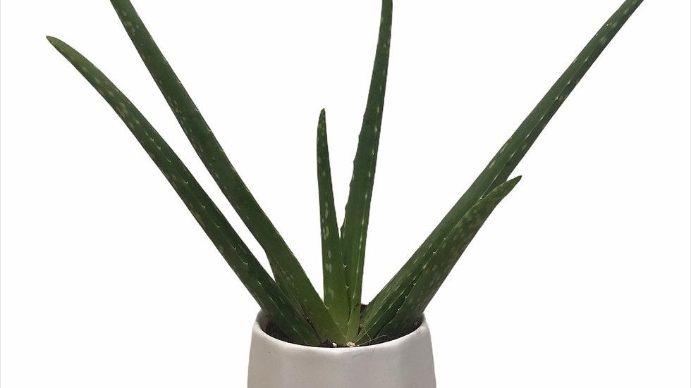 Aloe Vera in Pot