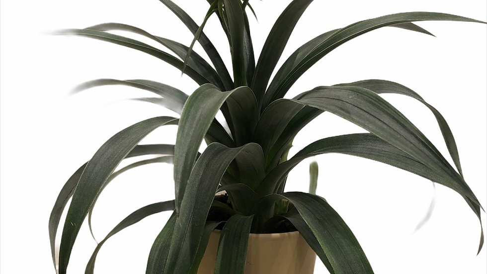Pineapple Plant in Light Mustard Pot