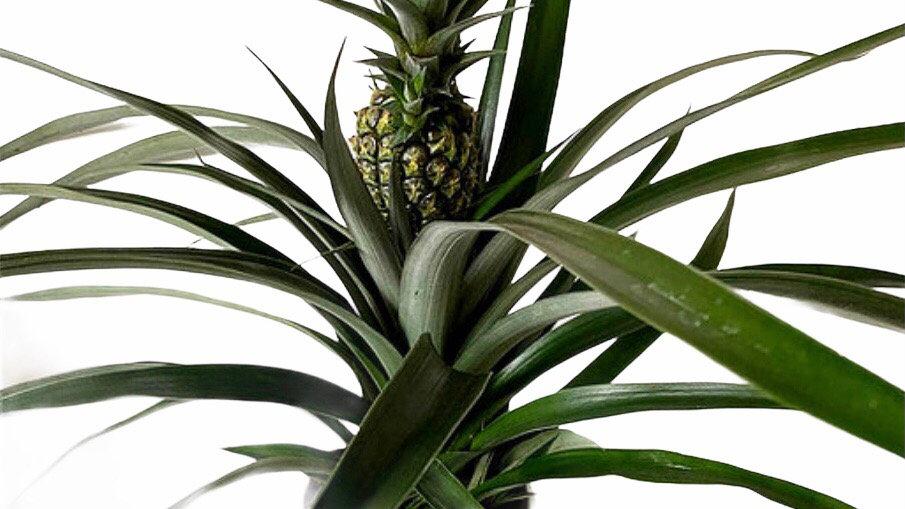 Ananas Mi Amigo Pineapple Plant