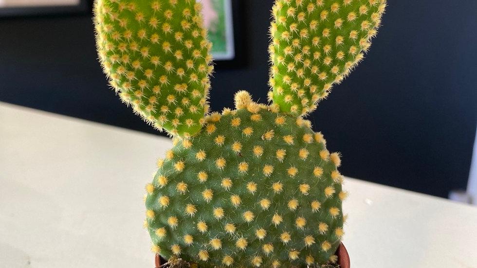 Opuntia Bunny Ears cactus