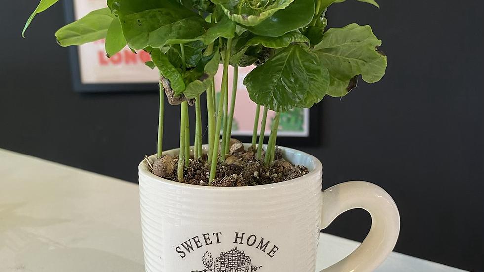 Coffee Plant in Coffee Mug