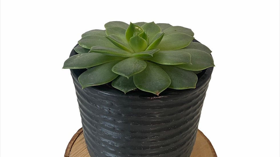 Echeveria Mexico in Black Textured Pot